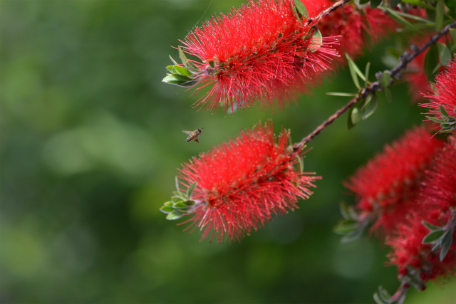 ブラシの花(3)