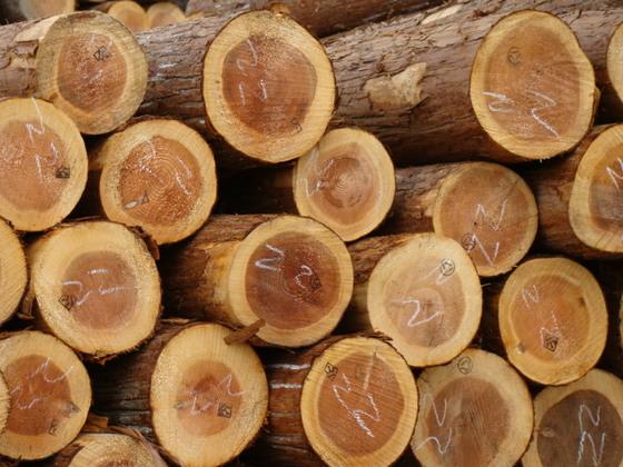 杉の木01
