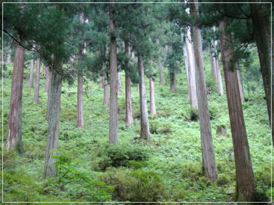 奈良県川上村 樹齢260年生の吉野杉01