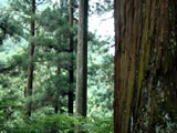 奈良県川上村 樹齢260年生の吉野杉02