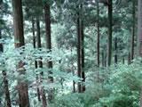 奈良県川上村 樹齢260年生の吉野杉04