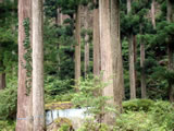 奈良県川上村 樹齢260年生の吉野杉06