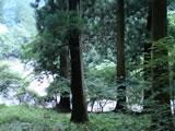 奈良県川上村 樹齢260年生の吉野杉07